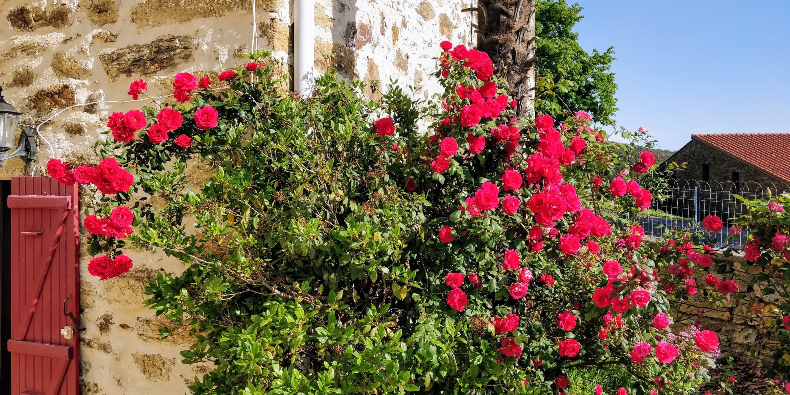 Les roses de la terrasse